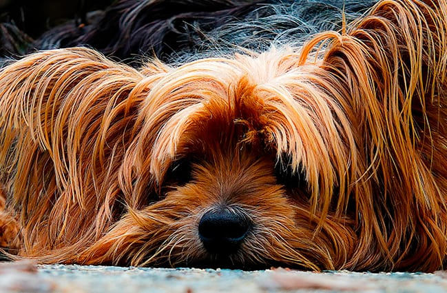 Piometra Canina - Veterinarium