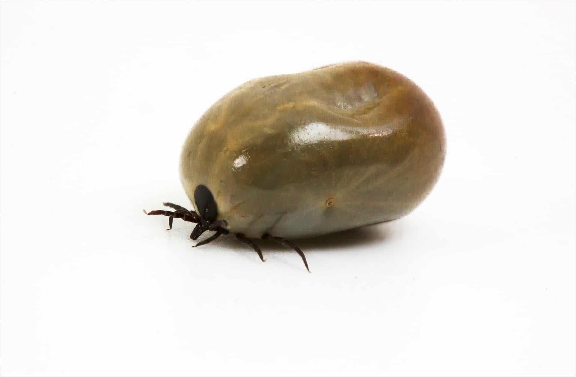 Parásitos externos: Garrapatas - Veterinarium