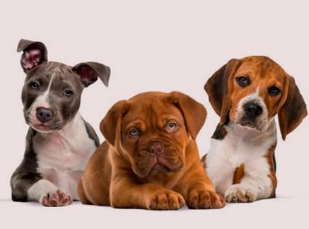 Castración y esterilización de perros