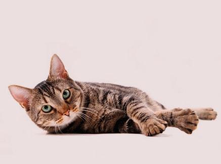 Castración y esterilización de gatos