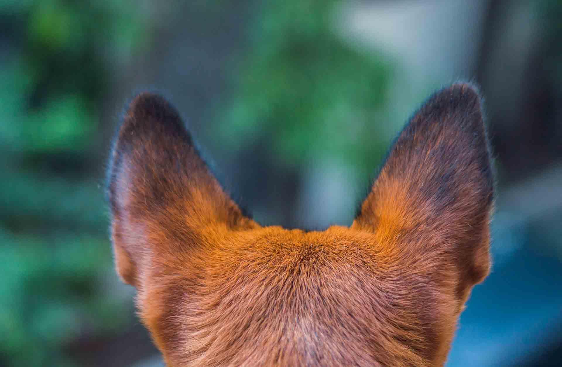 ¿Cómo limpiar las orejas de nuestros perros? - Veterinarium