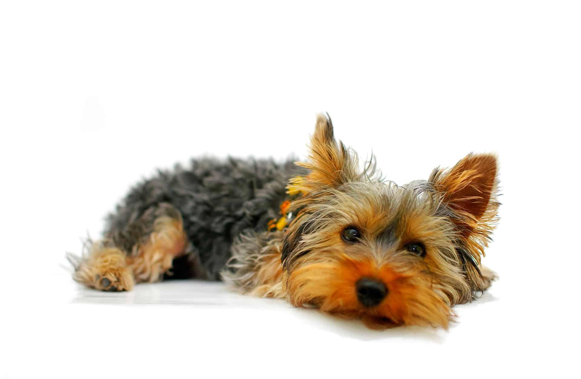 El Yorkshire Terrier, un pequeño rey - Veterinarium