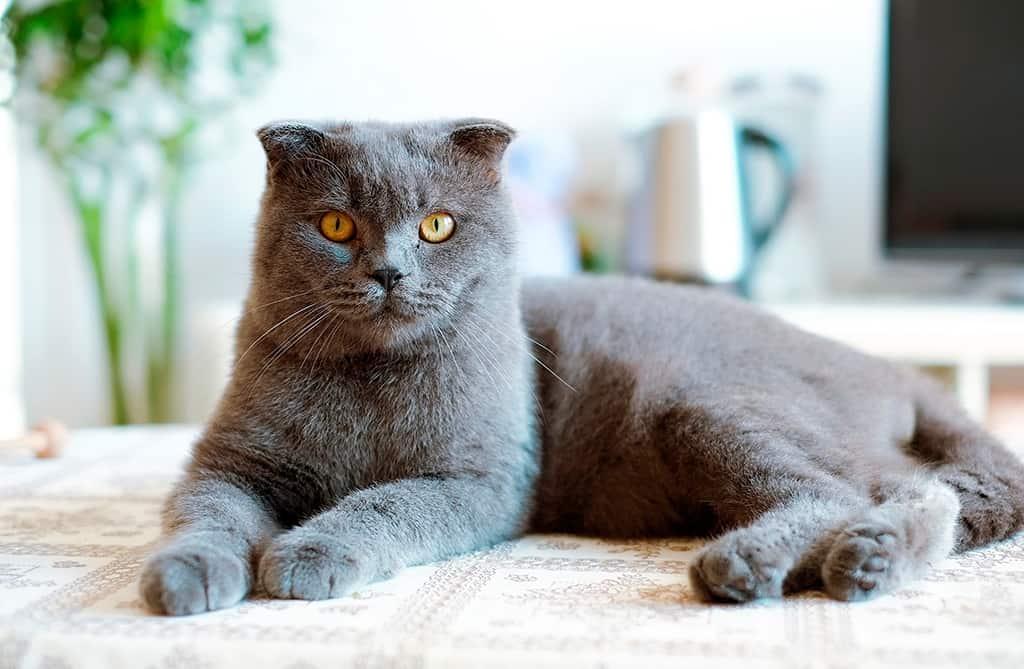 EL BRITISH SHORTHAIR: Un gato de cuento