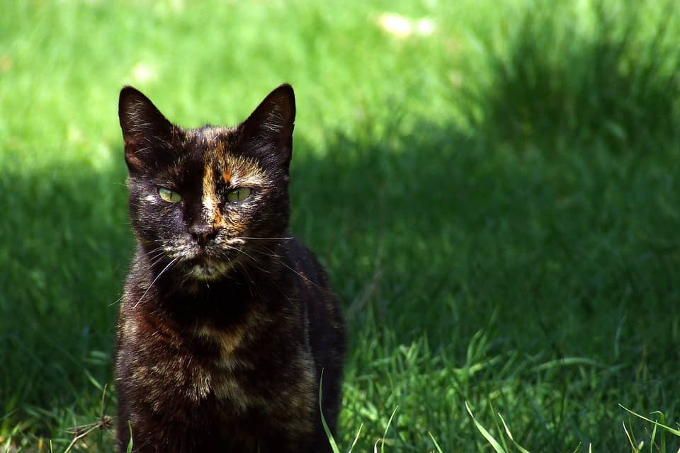 Color de los gatos Carey