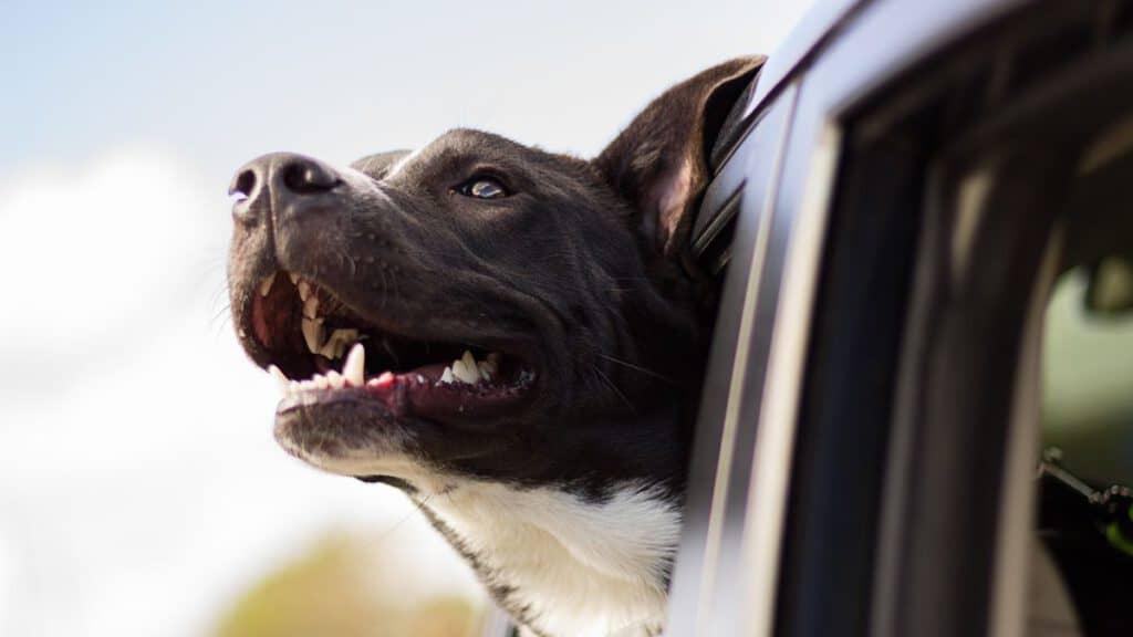 Normativa y accesorios para viajar en coche con perro de manera segura